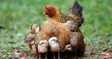 mơ thấy gà