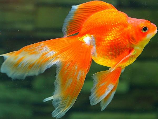 Mơ thấy cá có ý nghĩa gì? dự báo điều gì?