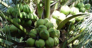 Mơ thấy quả dừa là điềm báo điều gì?