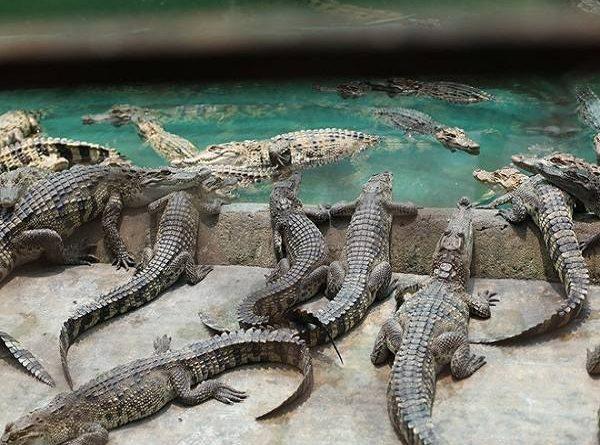 Mơ thấy cá sấu là điềm báo lành hay dữ? Nên đánh đề số nào chuẩn?