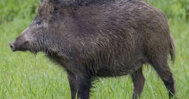 Mơ thấy lợn rừng đánh con gì? Là cát hay hung khi mơ thấy heo rừng