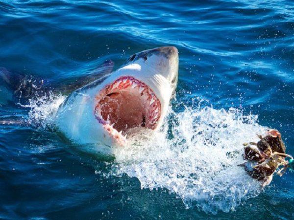 Mơ thấy cá mập có điềm báo gì? đánh con số nào?